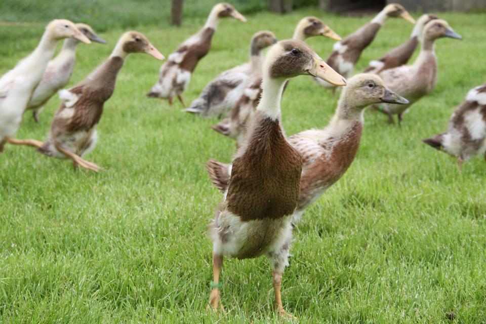 Indian Runner Ducklings Food